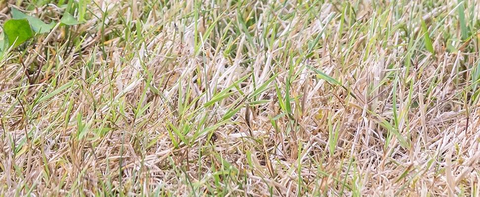 Tør græsplæne